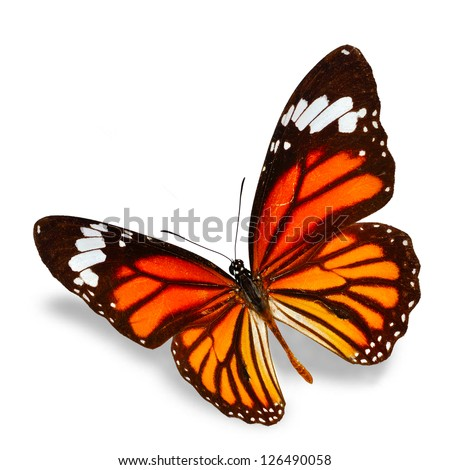 monarch Butterfly flying  isolated on white background, Soft shadow underneath. - stock photo