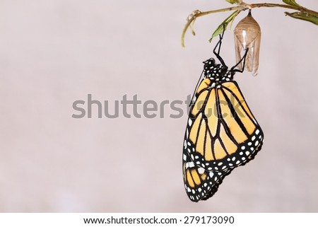 Monarch butterfly hanging from the chrysalis that he hatched from on a variegated white background. - stock photo
