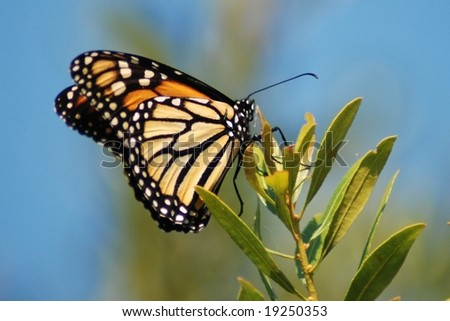 Monarch Butterfly;  Houston, Texas