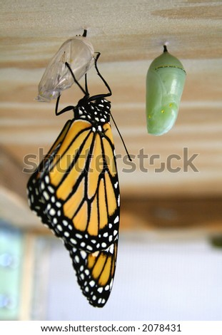 Monarch butterfly just out of the chrysalis - stock photo