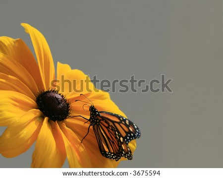 Monarch Butterfly on a Black-Eyed Susan - stock photo