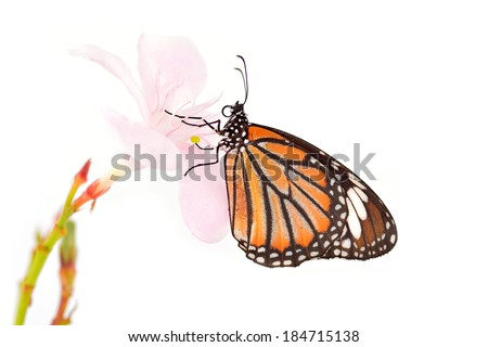 Monarch butterfly on a pink flower on white background