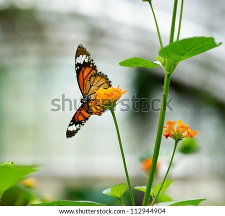 Monarch butterfly on  Lantana flower - stock photo