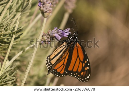 Monarch butterfly on lavender - stock photo