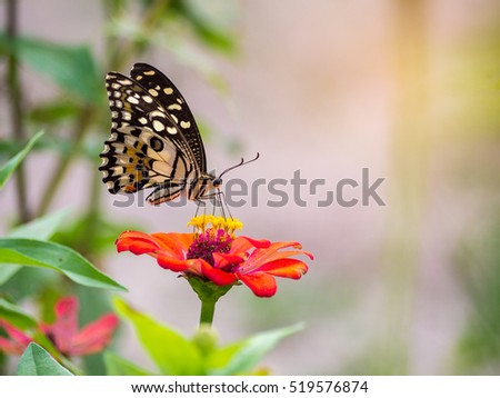 Monarch Butterfly on orange Zinnia flower