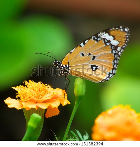 monarch butterfly with marigold flower - stock photo