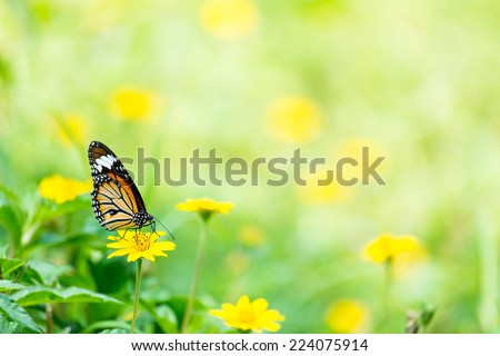 Monarch Butterfly with reed of grass and green environment background