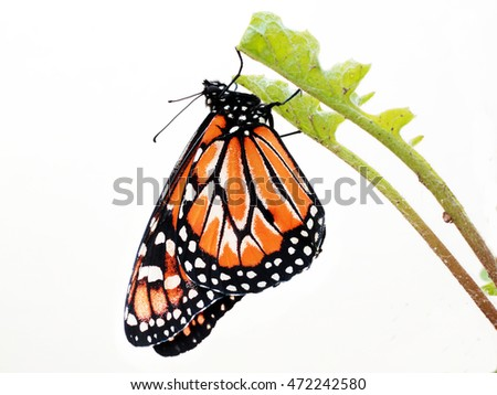 Monarch Butterfly with white background