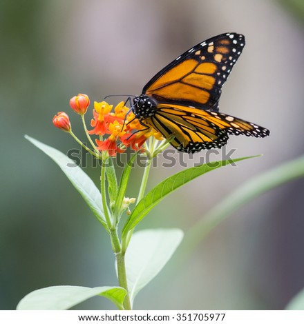 Monarch, Canaus plexippus sucking nectar from a flower