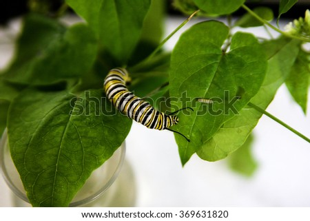 Monarch caterpillars (larva) on milkweed different stages of life.  - stock photo