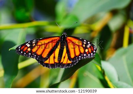 Monarch, Danaus plexippus butterfly on a plant - stock photo