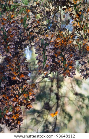Monarchs butterflies during their migration - stock photo