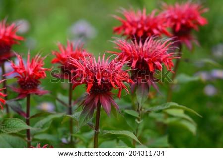 Monarda didyma (Scarlet beebalm) - stock photo