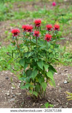 Monarda didyma (Scarlet beebalm) blooming in the garden  - stock photo