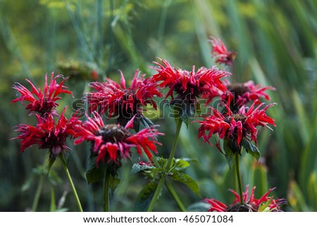 monarda flowers on a green background