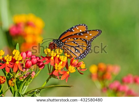 Monark Butterfly on flowering bush during Spring migration