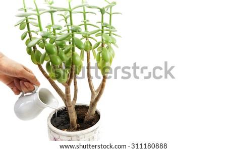 Money tree Crassula                - stock photo