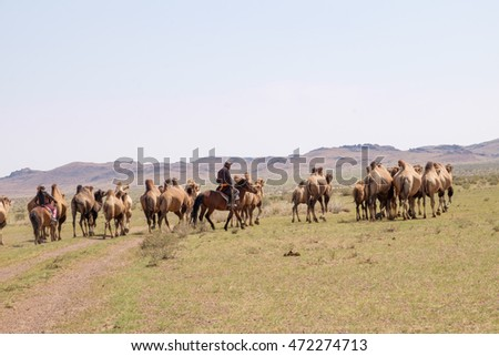 Mongolia, Lake Tolbo, Bactrian camels (Camelus bactrianus). The wild camel named Camelus ferus  for the remote herds of Mongolian camels. Men on horses drive the camels across the desert. 2015-08-18