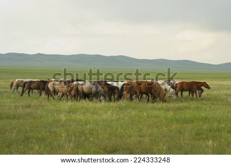 Mongolian horses grazing in the meadows. - stock photo