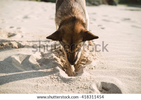 Mongrel dog digging in the sand of the beach. - stock photo
