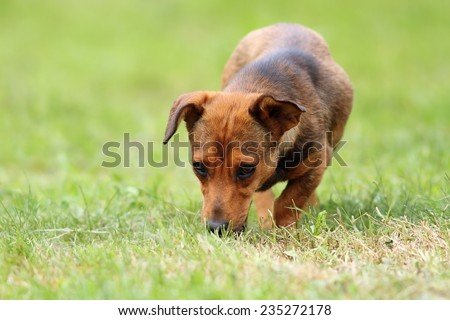 mongrel dog in the field, sniffing for game on a hunting day  - stock photo