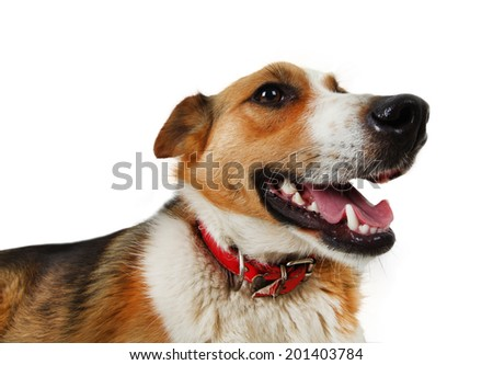 Mongrel stray dog isolated on white background