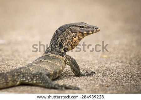 Monitor Lizard - stock photo