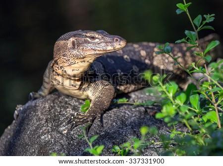 Monitor Lizard. - stock photo