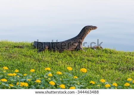 Monitor Lizard at the lake - stock photo