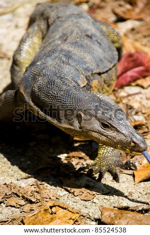 Monitor Lizard hunting around walking near the water