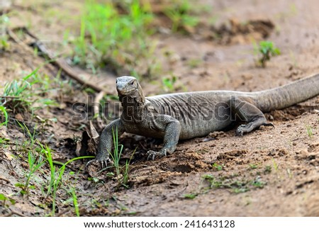 Monitor lizard in the wild on the island of Sri Lanka - stock photo