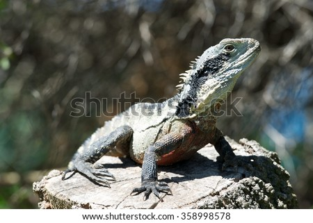 Monitor lizard on a stone in natural background. Monitor lizard is common name of several large lizard species, comprising the genus Varanus.They are native to Africa,Asia and Oceania.Australia fauna - stock photo