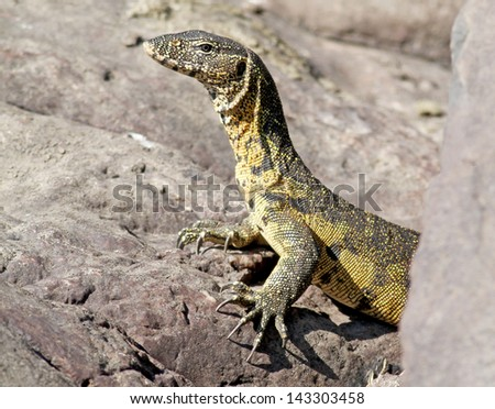 monitor lizard reptile predator in kruger national park south africa - stock photo