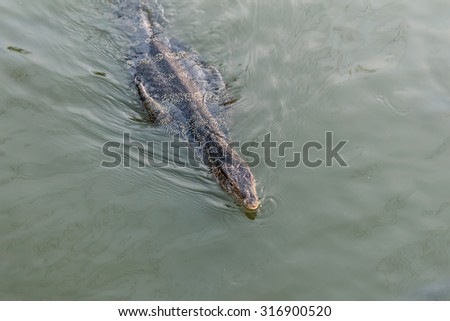 Monitor lizard swimming in the river looking for fish. - stock photo