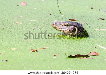 Monitor lizard ( Varanus salvator ) is swimming in the lake - stock photo