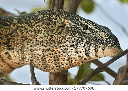 Monitor Lizard, Zambia, on a branch above the river - stock photo