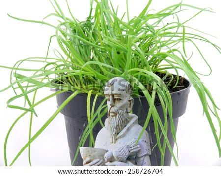 monk beard herb - stock photo