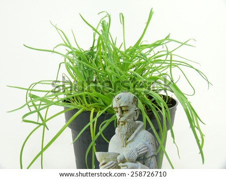 monk beard herb - stock photo