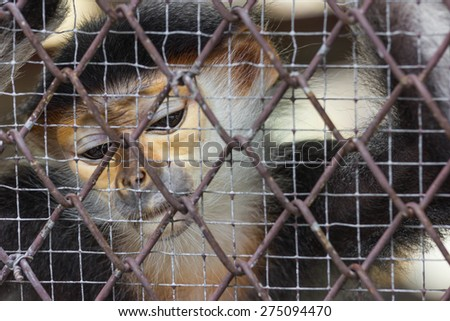 Monkey are trapped in the cage,sad at zoo.