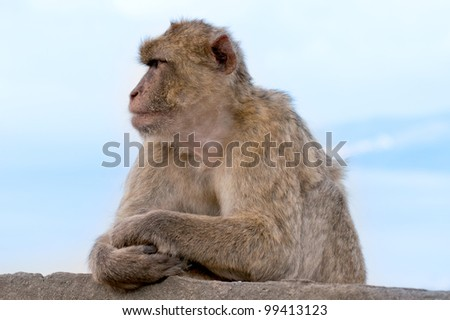 monkey at the rock of gibraltar