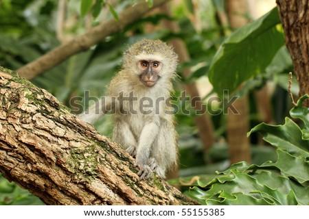 Monkey baby vervet - stock photo