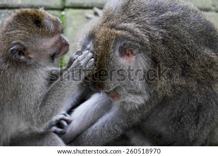 Monkey being groomed by a younger monkey, Ubud, Bali, Indonesia - stock photo