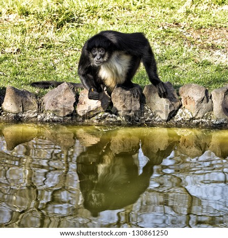 Monkey by the water, eating. Eeflections. Palic Zoo, - stock photo