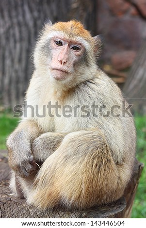 Monkey close-up against blurred background. - stock photo