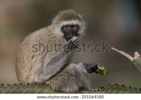 Monkey eating cactus