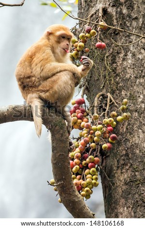 Monkey eating fruit on a tree branch in front of waterfall at Khlong Lan National Park, Thailand. Stump-tailed macaque, Bear macaque monkey. - stock photo
