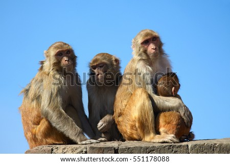 Monkey family on blue sky background. Mother monkey embracing  her baby. Family of four monkeys. Rhesus Macaque monkey (Macaca mulatta), Nepal, Kathmandu. Animals of Asia.