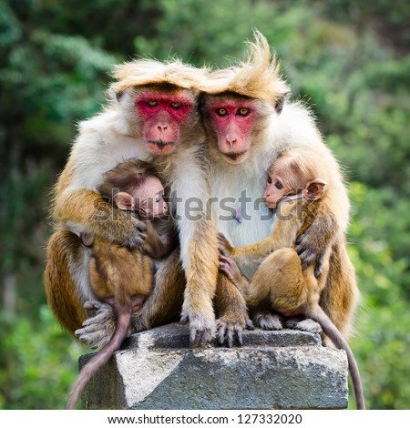 Monkey family with two babies. Red faces macaque (Macaca fuscata). - stock photo