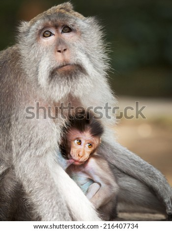 Monkey feeds her cub. Animals - mother and child. Indonesia - stock photo