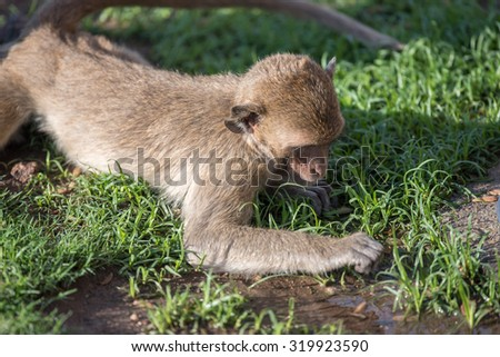 Monkey finding something on grass field